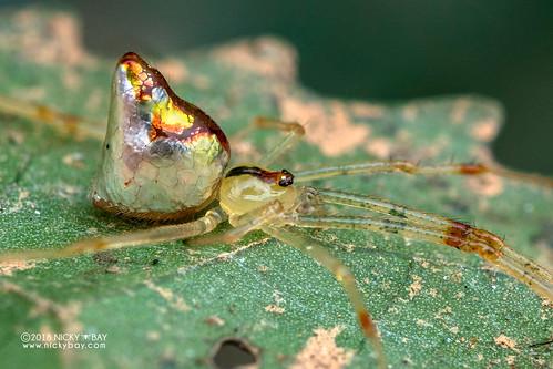 Mirror spider (Thwaitesia sp.) - DSC_9392 | by nickybay