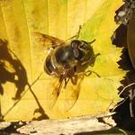 Mistbiene (Eristalis tenax) am Drachenfels
