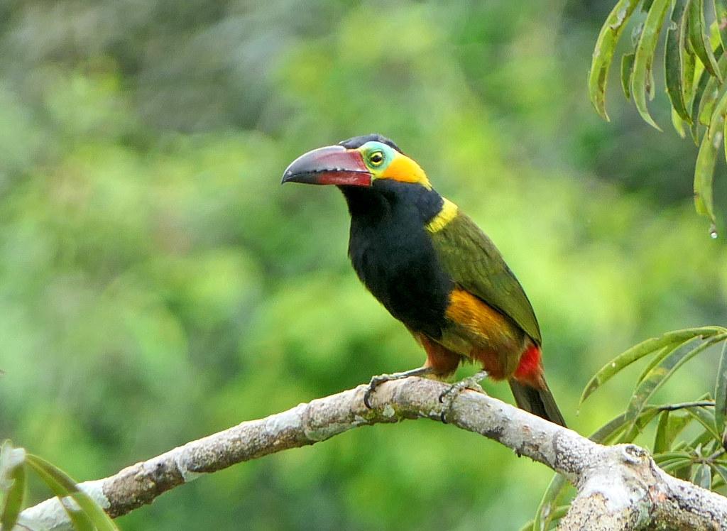 Pichilingo Aserrador, Gold-collared Toucanet, Red-billed Toucanet (Selenidera reinwardtii)