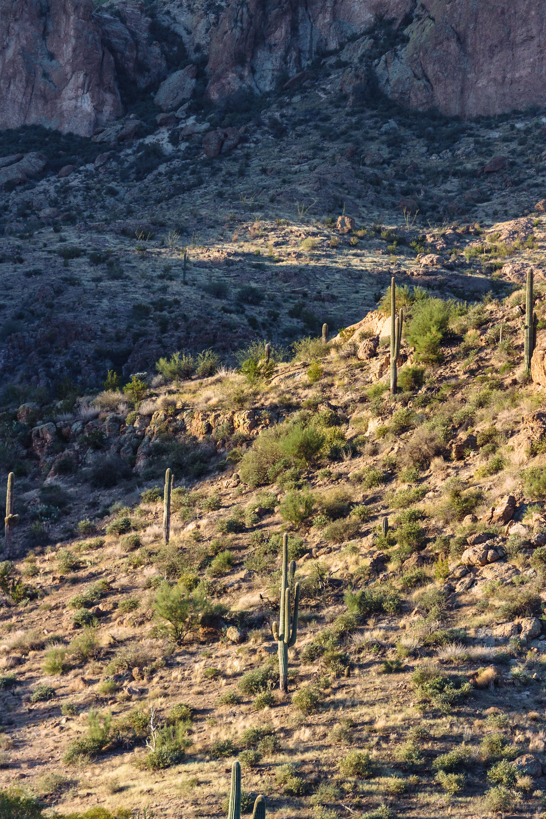 Saguaro cactuses growing on a hillside partly in sunshine and partly in shadows