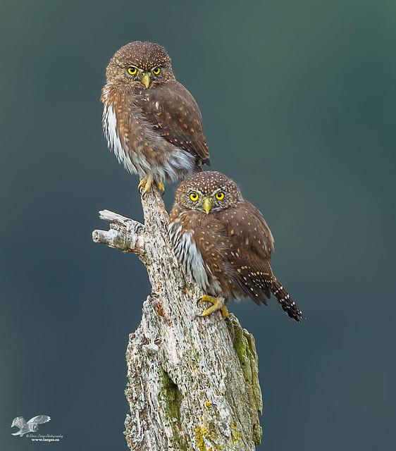 Distant Crop (Northern Pygmy Owls)
