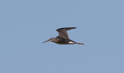 kevinlucas stiltsandpiper yakimacountyrarebird yakimacountywashingtonus grandviewwtf shorebird calidrishimantopus sky flightshot