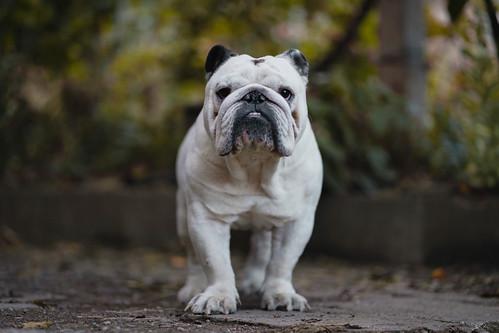 White Bulldog in the Yard