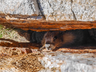Marmot buddy squished in a rock crack | by snackronym