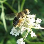 Kleine Keilfleckschwebfliege (Plain-faced Dronefly, Eristalis arbustorum), Weibchen