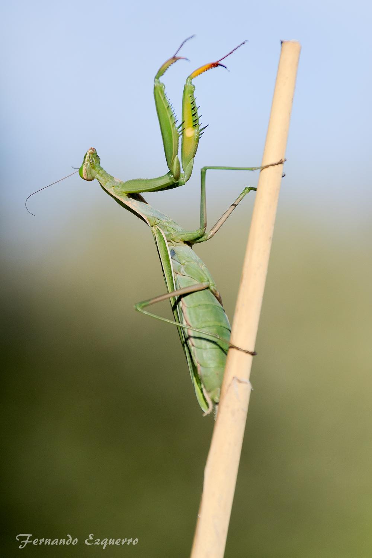 Mantis religiosa, comúnmente llamada santateresa, mamboretá, campamocha o tatadiós