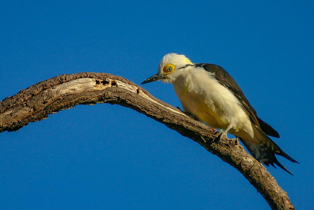 White Woodpecker - Brazilian Birds - Species # 252