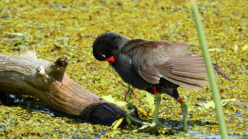 moorhen commonmoorhen bradenriver water pond lake swamp wildlife nature landscape background wallpaper outdoor bradenton florida manateecounty nikon coolpix p900 jimmullhaupt photo flickr geographic picture pictures camera snapshot photography nikoncoolpixp900 nikonp900 coolpixp900