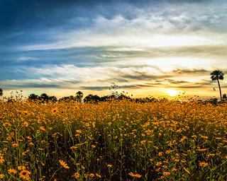 Sunflower Sunset | by Ed Rosack