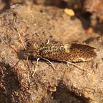 Eichen-Purpurmotte (Dyseriocrania subpurpurella) im Schellenberger Wald
