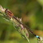 Große Pechlibelle (Ischnura elegans) in der Saarn-Mendener Ruhraue