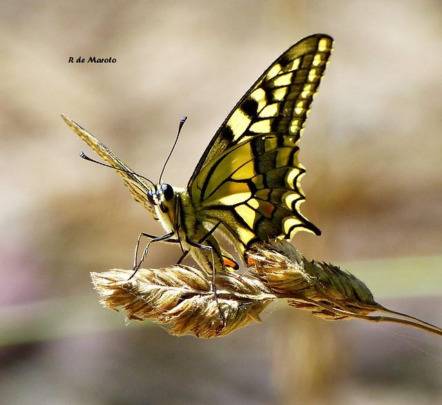 MACAÓN 5mariposa macaón