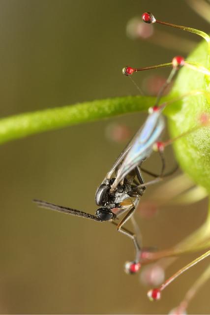 Fly on Tall Sundew_18-09-12_1 crop