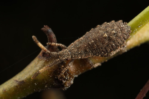 Coreid bug - Agriopocoris