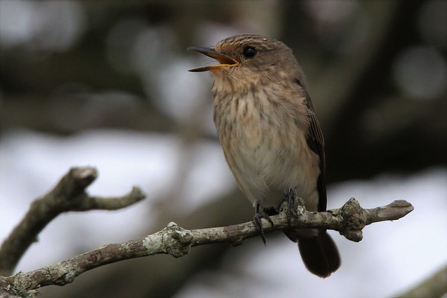 The Spotted Flycatcher   (Muscicapa striata) Dungeness RSPB