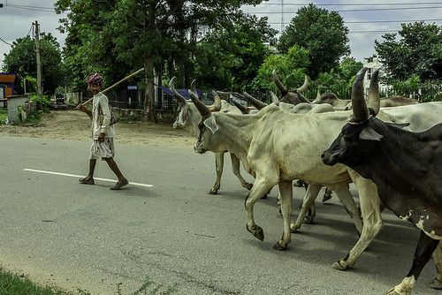 Cattle herd | by Pawan Pandey