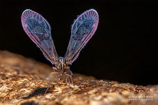 Derbid planthopper (Derbidae) - DSC_9421