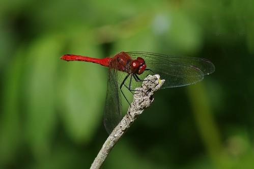 hayleywood cambridgeshire nature wild wildlife woodland insect dragonfly ruddydarter sympetrumsanguineum