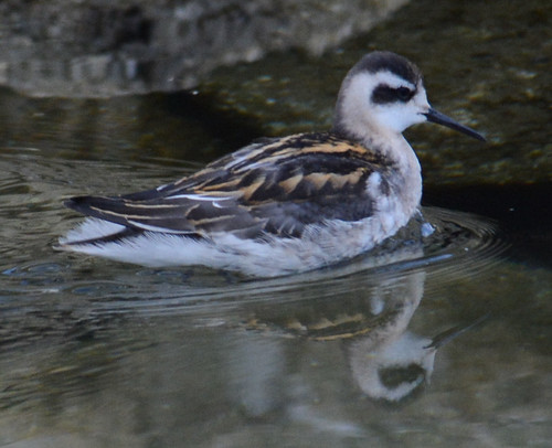 Red-necked Phalarope | by bird behaving badly