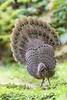 Grey peacock-pheasant ♂ (Polyplectron bicalcaratum) 灰孔雀雉 huī kǒng què zhì by China (Jiangsu Taizhou)
