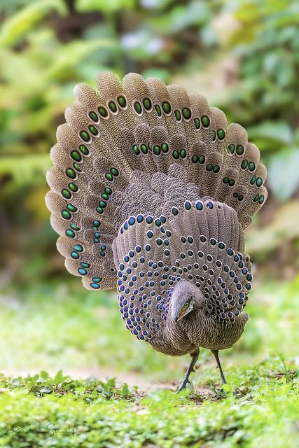 Grey peacock-pheasant ♂ (Polyplectron bicalcaratum) 灰孔雀雉 huī kǒng què zhì