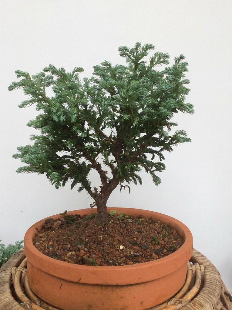 A rare Juniper bonsai -