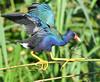 Purple Gallinule (Porphyrio martinicus) by ehsimons
