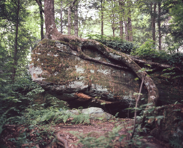 Tree on limestone, Red River Gorge