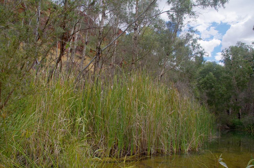 Typha domingensis, Fortescue Falls, Dales Gorge, Karijini National Park, WA, 10/04/18