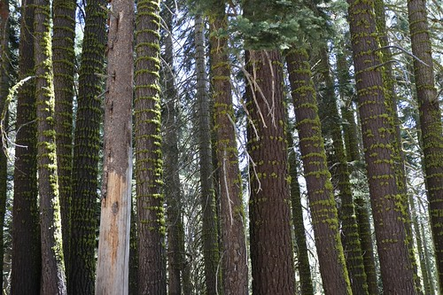 1854 Rings of bright green moss decorate the trunks of the tall pine trees on the Tahoe-Yosemite Trail | by _JFR_