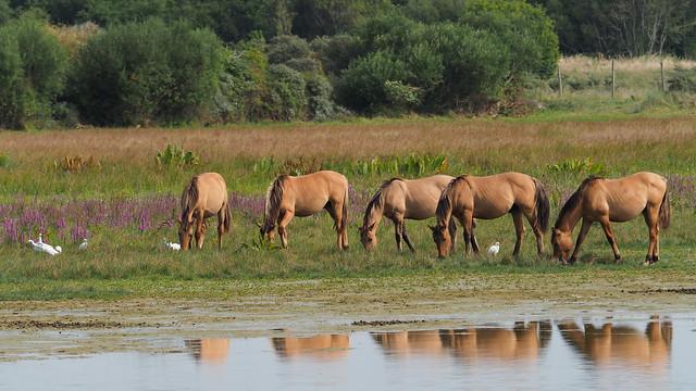Konikpaarden met koereigers