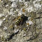 Gestreifte Waldschwebfliege (Dasysyrphus albostriatus), Weibchen