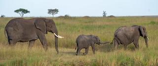 Elephants. Serenget | by Laura Jacobsen