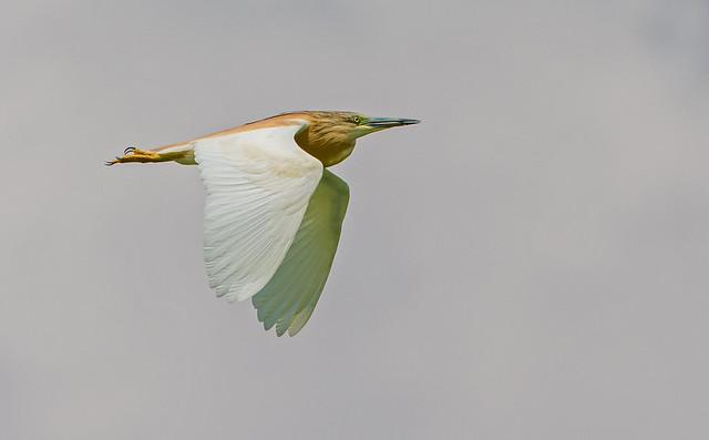 DSC2370  Squacco Heron..
