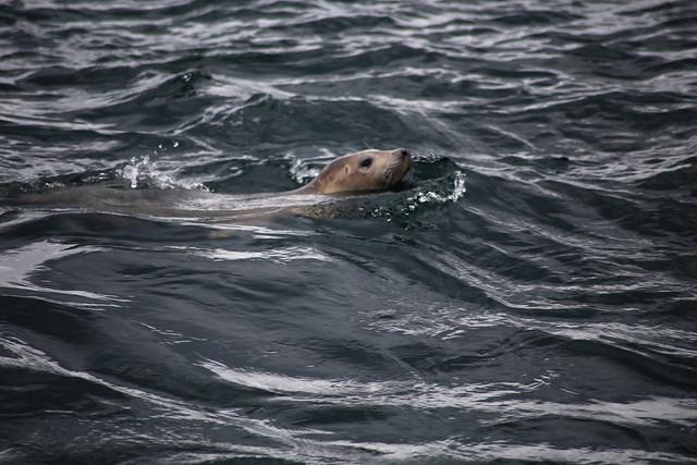 Seal at Longstone Island