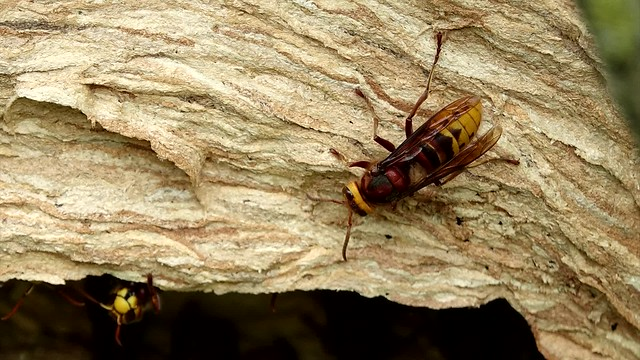 Hornets making a nest