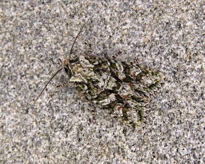73.225 Brindled Green - Dryobotodes eremita