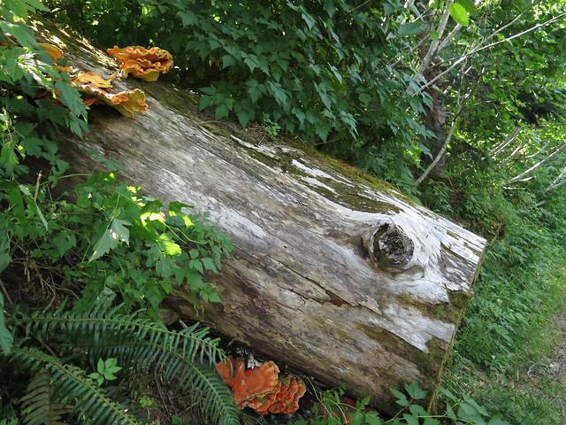 Mount St Helens - Spirit Lake - Harmony Falls Trail - Mushrooms on Fallen Trees