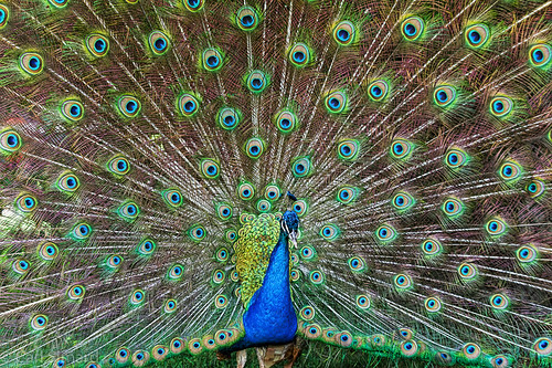 Peacock | by CarlJF
