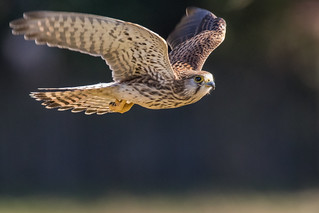 Kestrel fly past | by PINNACLE PHOTO