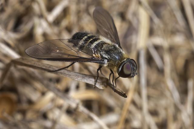 Villini beefly (Bombyliidae)