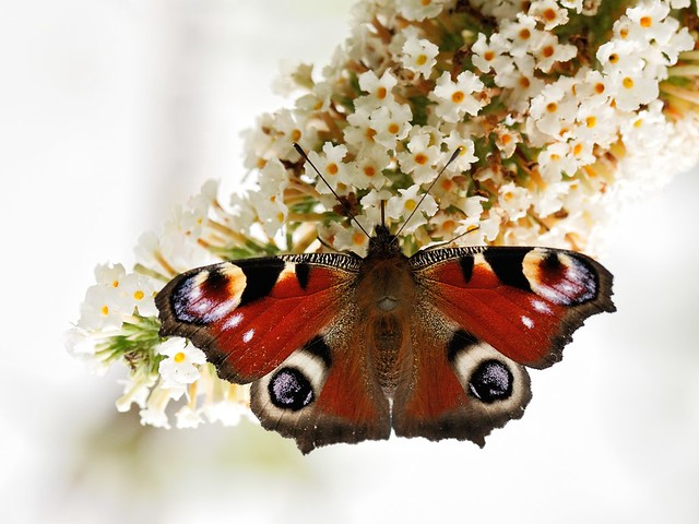 Peacock Butterfly 01