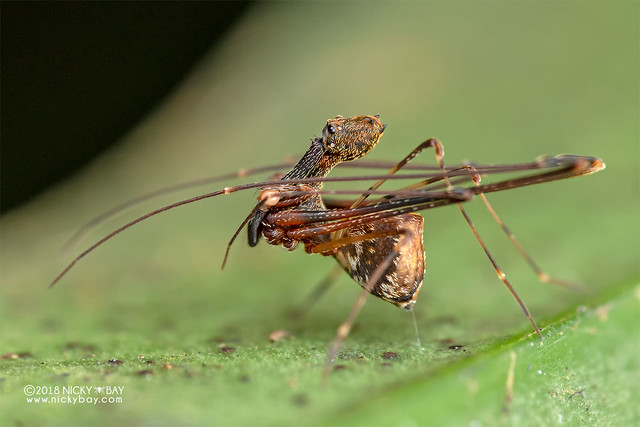 Assassin spider / Pelican spider (Eriauchenius sp.) - DSC_9757