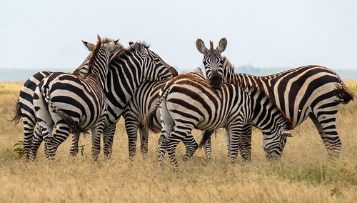 Zebra confusion | by Laura Jacobsen