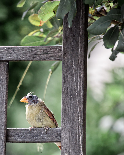 A Female Cardinal's Bad Day
