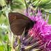 France Butterflies 2 Ringlets