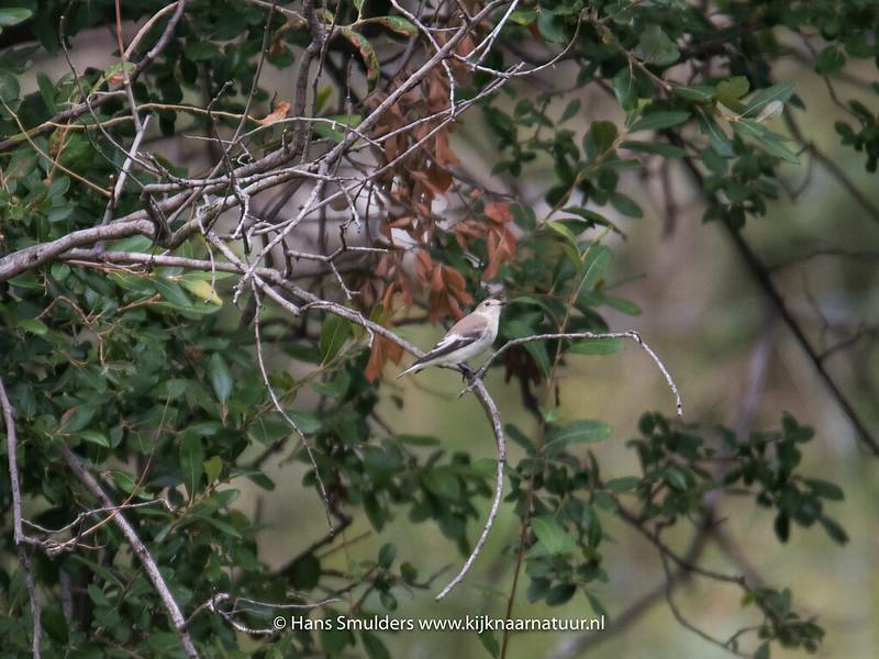 Grauwe vliegenvanger (Muscicapa striata)-818_5814
