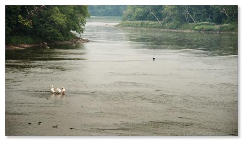 pelicans eagle smokymorning
