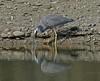White faced heron - Egretta novaehollandiae by Maureen Pierre