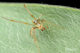 Mirror comb-footed spider (Thwaitesia sp.) - DSC_1327